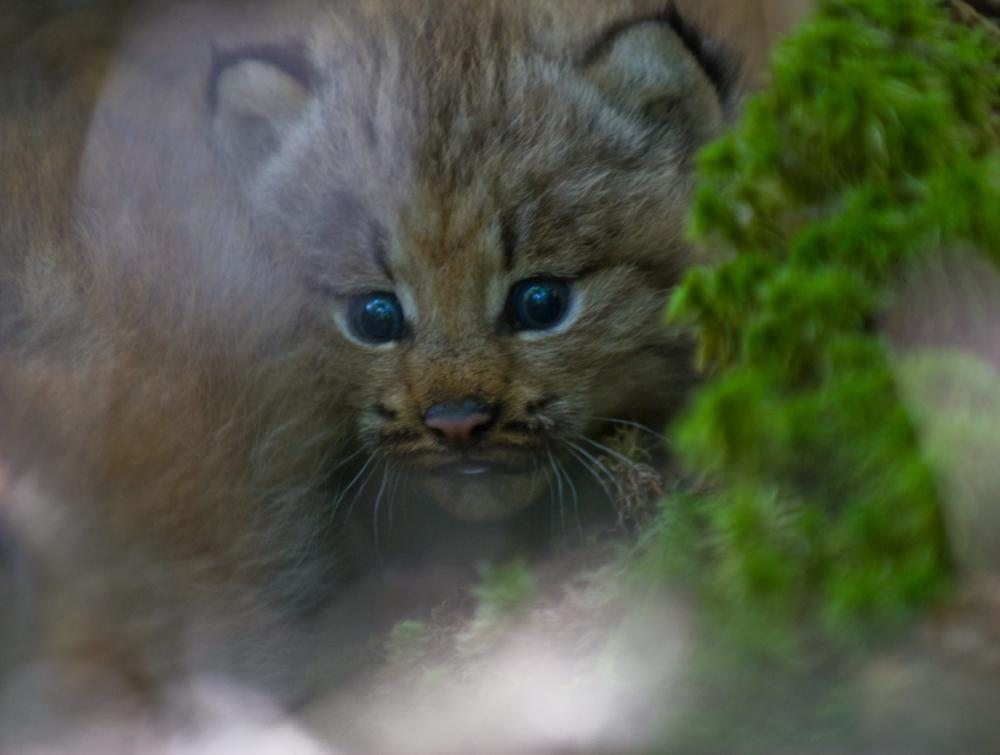 Canada lynx cub with blurred plant growth in immediate foreground